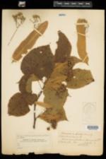 Tilia americana image
