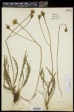 Scorzoneroides autumnalis subsp. autumnalis image