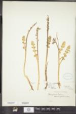 Image of Botrychium minganense