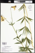 Lilium canadense image