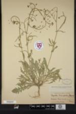 Image of Capsella bursa-pastoris