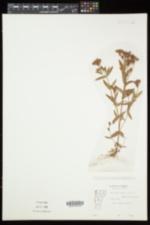 Hypericum majus image