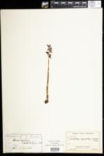 Image of Corallorhiza odontorhiza
