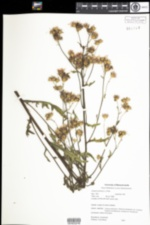 Image of Cirsium arvense