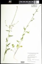 Image of Sisymbrium officinale