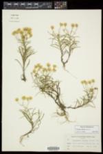Pityopsis falcata image