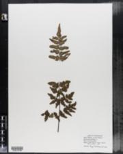 Image of Pellaea viridis