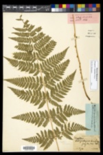 Dryopteris triploidea image