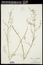 Cicuta bulbifera image