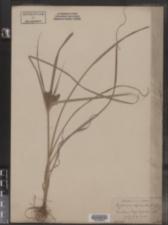 Cyperus refractus image