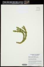 Image of Huperzia protoporophila