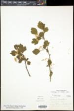 Crataegus monogyna image
