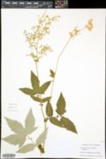 Filipendula ulmaria image
