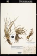 Image of Isoetes foveolata