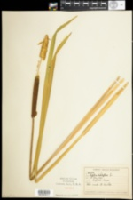 Image of Typha latifolia