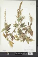 Image of Ambrosia trifida