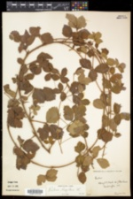 Rubus hispidus image