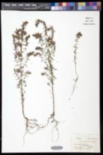 Odontites vernus image