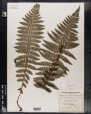 Image of Polystichum braunii