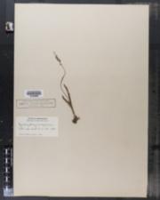 Image of Gyrostachys plantaginea