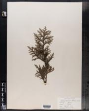 Image of Cupressus obtusa