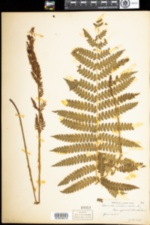 Osmunda cinnamomea image