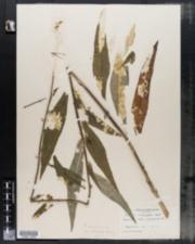 Image of Lactuca integrifolia