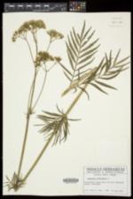 Valeriana officinalis image