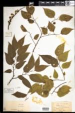 Image of Celtis occidentalis