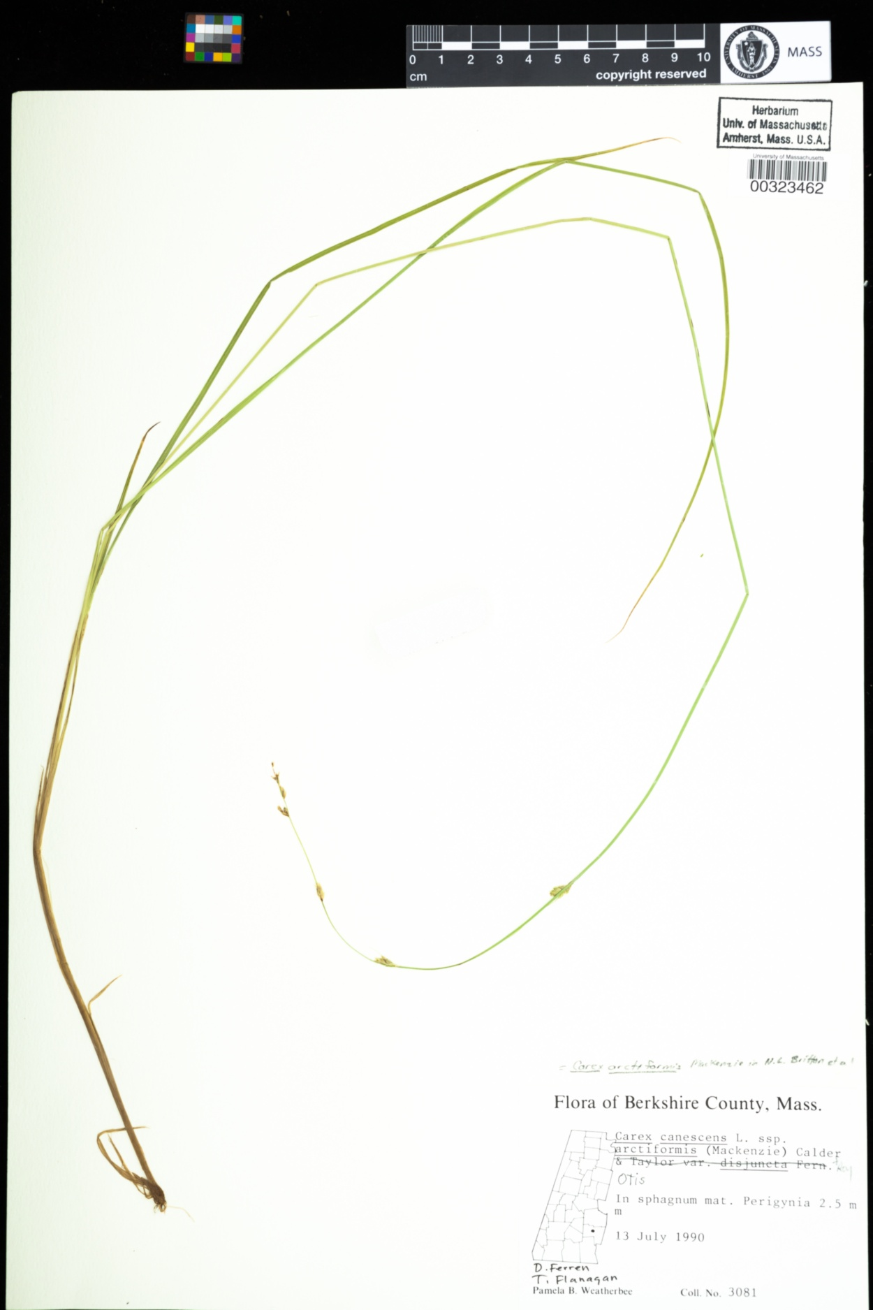 Carex arctiformis image