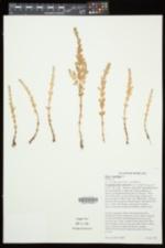 Lysimachia maritima image