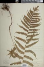 Image of Deparia acrostichoides
