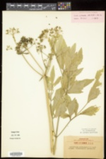 Levisticum officinale image