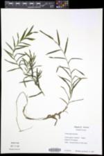 Potamogeton robbinsii image