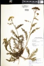 Image of Achillea millefolium