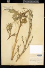 Chenopodium album image
