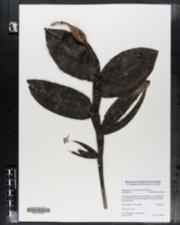 Image of Epidendrum carpophorum