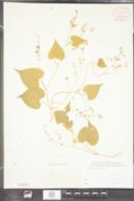 Polygonum scandens image