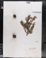 Image of Cupressus sempervirens