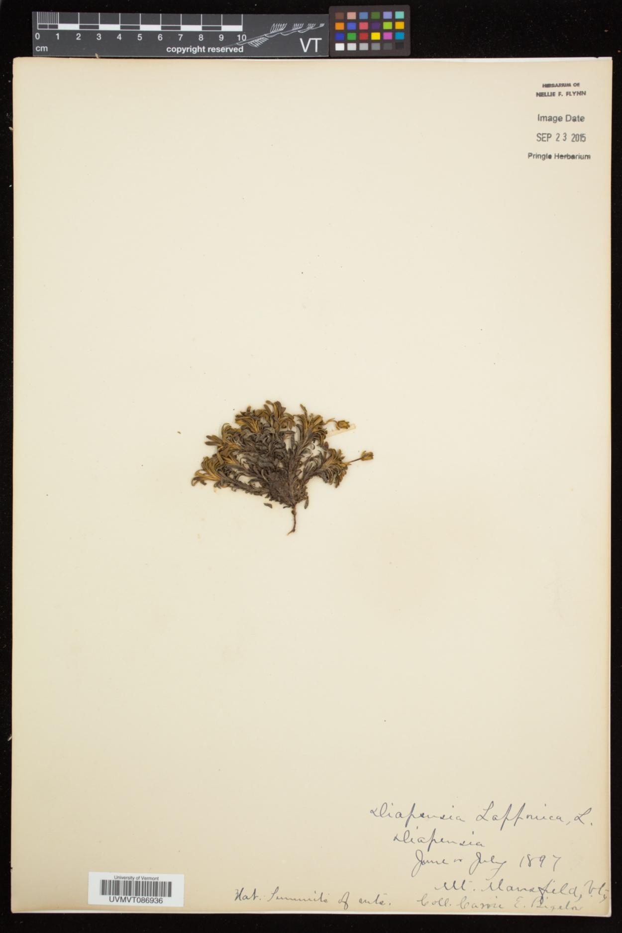 Diapensia lapponica subsp. lapponica image