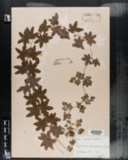 Lygodium palmatum image
