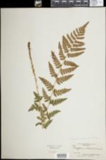 Image of Dryopteris cristata