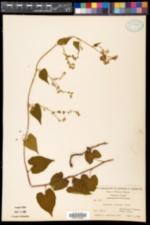 Fallopia cilinodis image