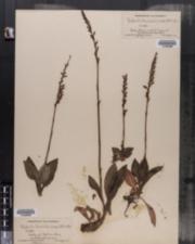 Image of Epipactis tesselata