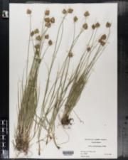 Image of Carex athrostachya
