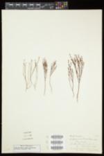 Hypericum gentianoides image
