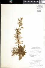 Image of Matricaria discoidea