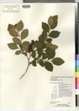 Lyonia ligustrina image