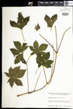 Image of Humulus japonicus