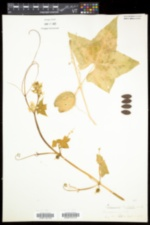 Echinocystis lobata image